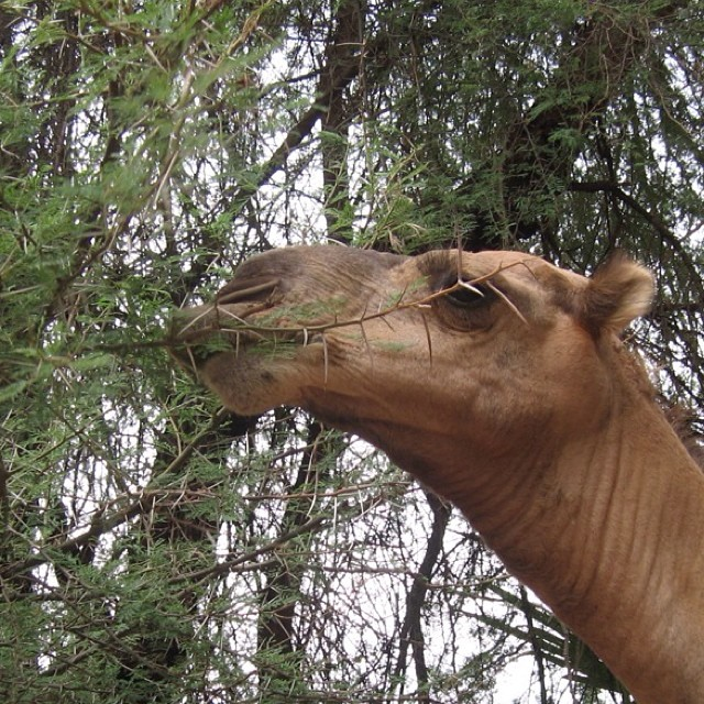 After each days  Walk, the camels are free to roam and graze.  A favorite treat are acacia leaves, eating around the thorns that can flatten a tire.  #properwalk