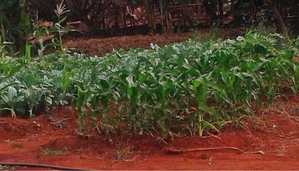 Maize in the farm (1)